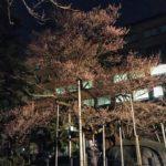 石割桜の様子を見に。