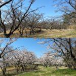 四十四田公園の桜満開!